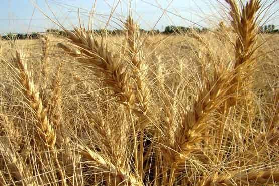 126 هزار تن گندم به مراکز خرید استان بوشهر تحویل داده شد